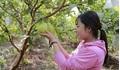 Hot girl 9X Hưng Yên trồng ổi Đài Loan kiếm hàng trăm triệu mỗi năm