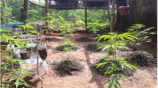 Thanh niên ngang nhiên trồng 19 cây cần sa ngay trong vườn nhà