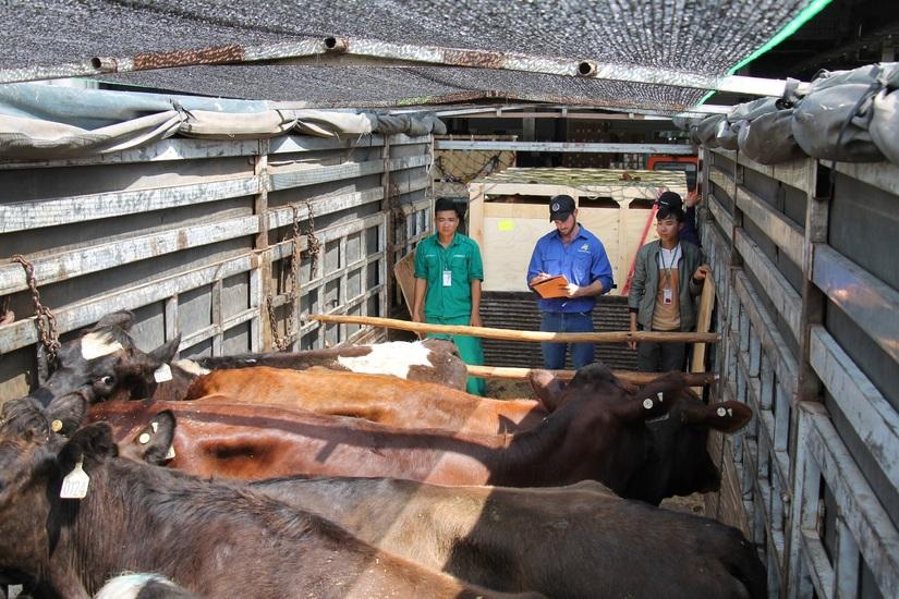 200 cô bò hữu cơ 'cưỡi' máy bay từ Úc về Việt Nam