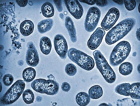 Vi khuẩn salmonella vụ ngộ độc ở Đông Anh nguy hiểm thế nào 2