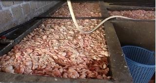 Quảng Ninh: Bắt quả tang cơ sở đang tẩm ướp 20 tấn lòng lợn bẩn
