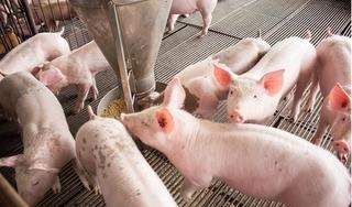 Giá heo hơi hôm nay 4/12: Lợn đẹp miền Bắc tiến sát 50.000 đồng/kg, miền Nam ổn định