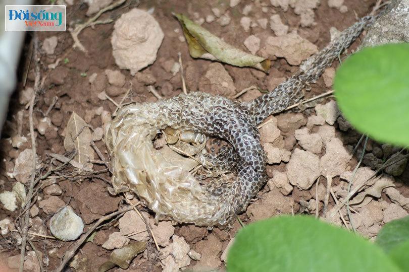 Con trăn mắc võng nằm chầu ở Nam Định bây giờ ra sao?8