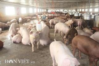 Giá heo hơi hôm nay 7/12: Cập nhật giá lợn hơi miền Bắc, miền Nam mới nhất