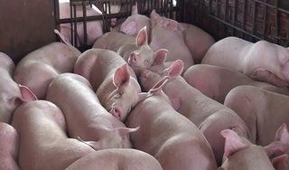 Giá heo (Lợn) hơi hôm nay 19/12: Có nơi giảm mạnh 2.000 đồng/kg