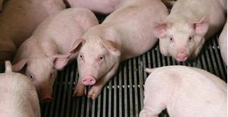 Giá heo (lợn) hơi hôm nay 24/12: Đầu tuần giá heo giảm nhẹ ở nhiều nơi