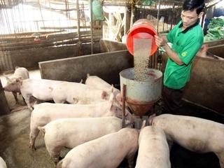Giá heo (lợn) hơi hôm nay 23/12: Miền Bắc có giá thấp nhất cả nước