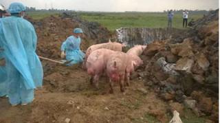 Truy bắt xe tải chở 97 con lợn lở mồm long móng đi tiêu thụ