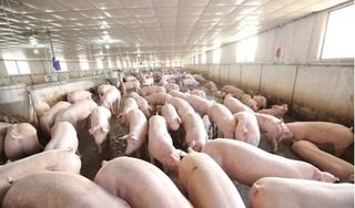 Giá heo (lợn) hơi hôm nay 25/12: Giảm nhẹ 1.000 - 2.000 đồng/kg ở miền Nam