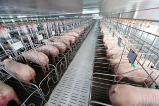 Giá heo (lợn) hơi hôm nay 26/12: Có nơi giảm mạnh 2.000 đồng/kg ngày cuối năm