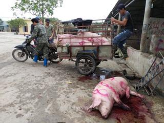 Hà Nam: Kinh hãi lợn bị lở móng, nằm liệt lái buôn vẫn khênh đi bán