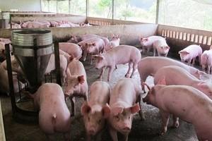 Giá heo (lợn) hơi hôm nay 29/12: Giảm mạnh trên cả nước ngày cuối năm