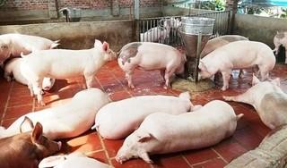 Giá heo (lợn) hơi hôm nay 2/1: Giá heo giảm, bệnh lở mồm long móng diễn biến phức tạp