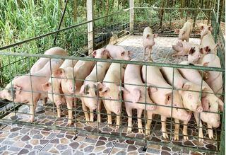 Giá heo (lợn) hơi hôm nay 3/1: Giảm giá ở cả 3 miền