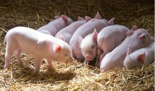 Giá heo (lợn) hơi hôm nay 5/1: Có nơi giảm đến 3.000 đồng/kg