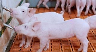 Giá heo (lợn) hơi hôm nay 4/1: Tăng nhẹ ở miền Bắc, giảm nhẹ tại miền Nam