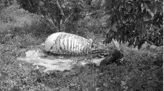Bắt nhóm đối tượng chuyên trộm trâu, bò của người dân đưa vào rừng xẻ thịt