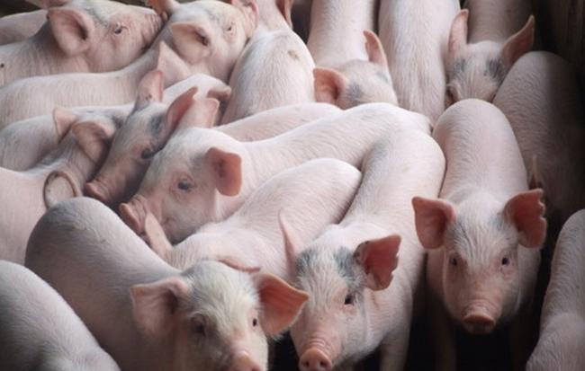 Giá heo (lợn) hơi hôm nay 8/1: Miền Bắc, miền Trung khởi sắc rõ rệt, miền Nam giảm 2.000 đồng/kg