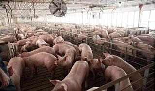 Giá heo (lợn) hơi hôm nay 11/1: Miền Bắc tiếp tục đà tăng, có nơi tăng 3 giá
