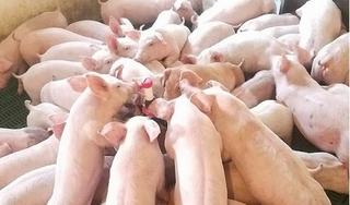 Giá heo (lợn) hơi hôm nay 13/1: Chấm dứt đà tăng giá mạnh ở miền Bắc