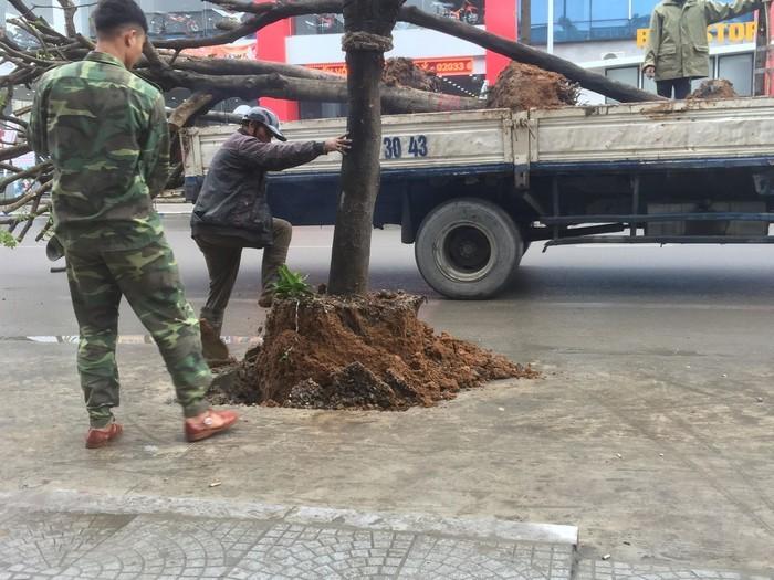 Quảng Ninh: Di chuyển hàng cây được trồng dưới lòng đường đi nơi khác2
