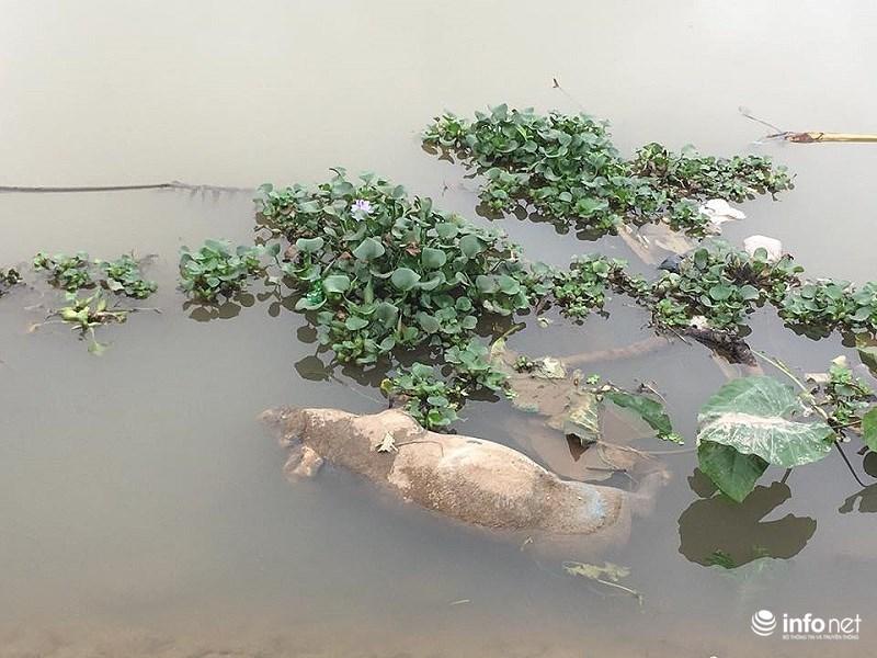 Nam Định: Xác lợn chết nổi lềnh phềnh đầy sông, ngay trước nhà bí thư