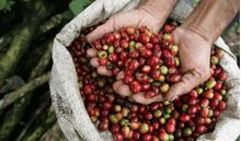Giá cà phê hôm nay 24/1: Tăng trở lại 100 đồng/kg