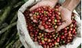Giá cà phê hôm nay 18/1: Giảm nhẹ 100 đồng/kg