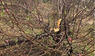 Hàng trăm gốc đào của các hộ dân ở Bắc Ninh bị chặt phá trong đêm