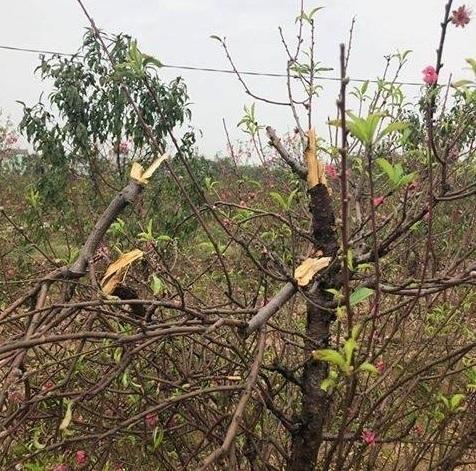 Bắc Ninh: Cận cảnh hàng trăm gốc đào của người dân bị kẻ gian phá hoại3