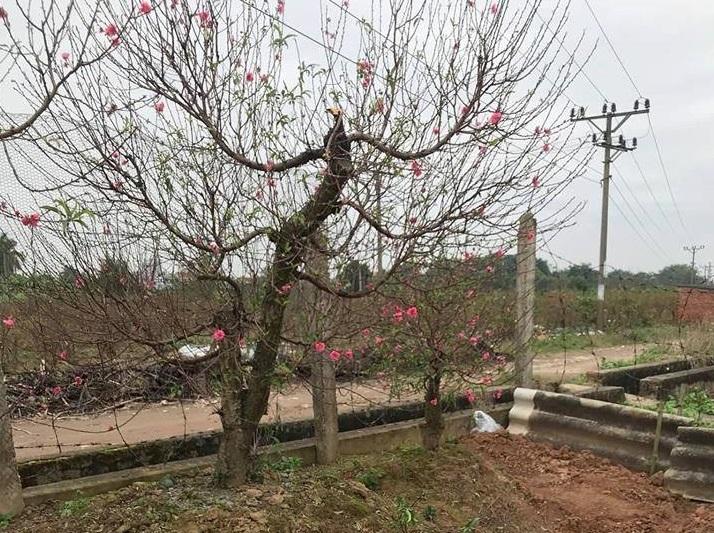 Bắc Ninh: Cận cảnh hàng trăm gốc đào của người dân bị kẻ gian phá hoại11