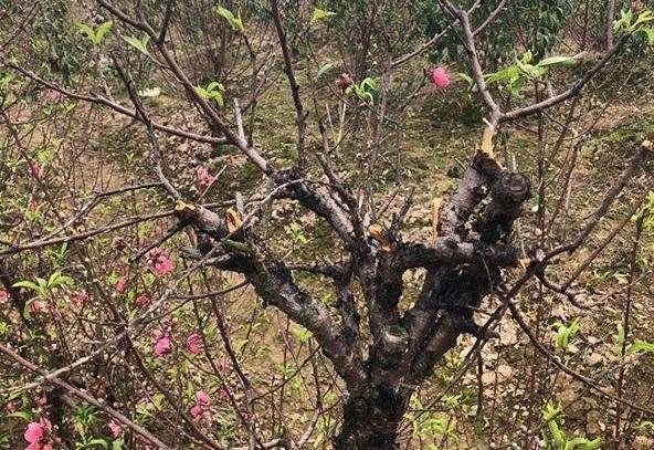 Bắc Ninh: Cận cảnh hàng trăm gốc đào của người dân bị kẻ gian phá hoại8