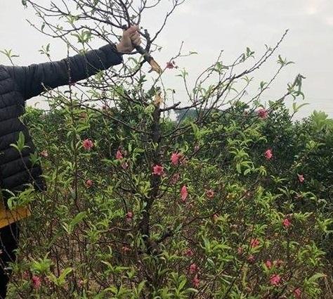 Bắc Ninh: Cận cảnh hàng trăm gốc đào của người dân bị kẻ gian phá hoại9