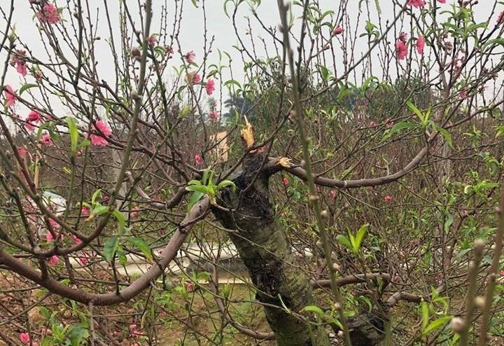 Bắc Ninh: Cận cảnh hàng trăm gốc đào của người dân bị kẻ gian phá hoại6