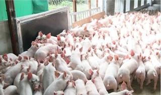 Giá heo (lợn) hơi hôm nay 22/1: Miền Bắc quay đầu giảm 2 giá, miền Nam có nhiều biến động