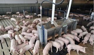 Giá heo (lợn) hơi hôm nay 20/1: Miền Bắc tăng liên tiếp cả tuần