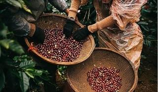 Giá cà phê hôm nay 25/1: Tăng mạnh lên 33.900 đồng/kg