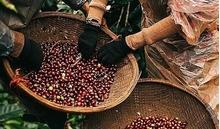 Giá cà phê hôm nay 21/1: Cà phê khu vực Tây Nguyên ở mức 33.700 đồng/kg