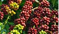 Giá cà phê hôm nay 23/1: Giảm mạnh 400 đồng/kg