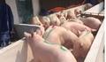 Giá heo (lợn) hơi hôm nay 26/1: Nhiều nơi tăng 2.000 đồng/kg