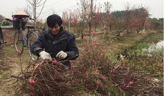 Hàng trăm cây đào bị phá hoại ở Bắc Ninh: Thủ phạm là người làng?