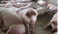 Giá heo (lợn) hơi hôm nay 28/1: Đồng loạt giảm trong ngày 23 tháng Chạp