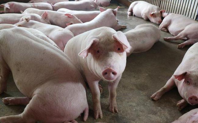 Giá heo (lợn) hơi hôm nay 14/3: Giảm mạnh chỉ còn 38.000 đồng/kg vì dịch ASF