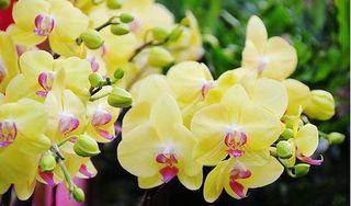 Những loài hoa 'hút' may mắn và tài lộc nên chưng vào dịp Tết