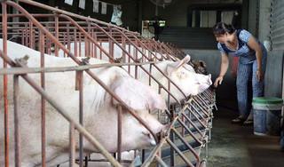 Giá heo (lợn) hơi hôm nay 30/1: Miền Bắc chững giá, miền Trung tăng dịp cận Tết