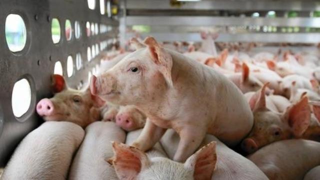 Giá heo (lợn) hơi hôm nay 1/2: Miền Bắc tiếp tục giảm giá trong ngày 27 Tết