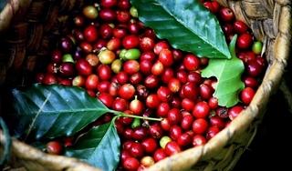 Giá cà phê hôm nay 1/2: Tăng nhẹ ở mức 500 đồng/kg