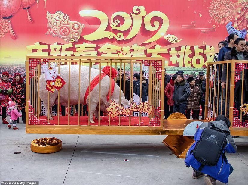 Vua lợn nặng gần 1 tấn được tôn thờ dịp năm mới Kỷ Hợi 2019