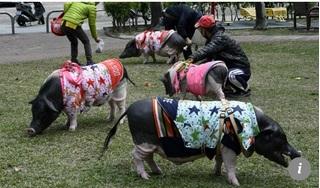 Tết Kỷ Hợi: Gặp người phụ nữ sống cùng 4 chú lợn khổng lồ ở Đài Loan