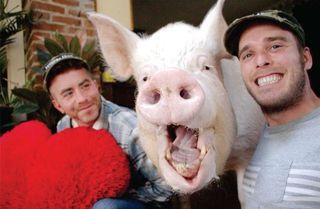 Chú lợn nặng 300kg nổi tiếng nhất thế giới sống cùng nhà với chủ nhân